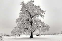 Isolated tree in winter Stock Images
