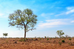 Isolated Trees in Open Savannah in South Africa Royalty Free Stock Image