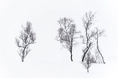 Isolated trees in the snow. In Lofoten, Norway royalty free stock photos