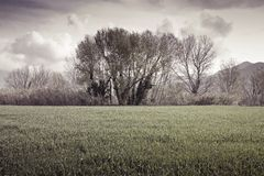 Isolated trees in a wheatfield before a rainstorm - (Tuscany - I Stock Photo