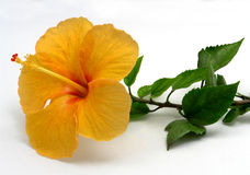 Isolated Tropical Yellow Hibiscus Flower. Beautiful Isolated Yellow Hibiscus Flower on White Background Stock Photo