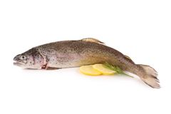 Isolated trout Royalty Free Stock Images