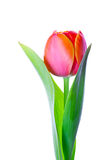 Isolated tulip flower. An isolated golden edge orange tulip flower in white background Stock Photography