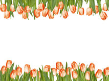 Isolated tulip frame arrangement. EPS 10. Isolated tulip frame arrangement, on a white background. EPS 10 vector file included Royalty Free Stock Photos