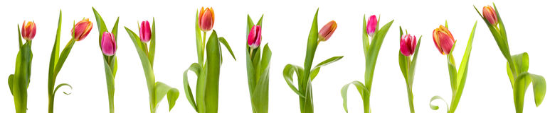 Isolated tulips Royalty Free Stock Photography