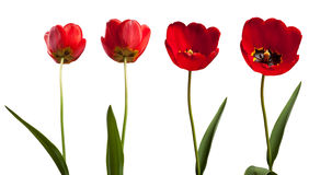 Isolated tulips Stock Photo