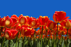 Isolated Tulips Background Royalty Free Stock Image