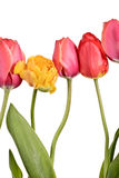 Isolated tulips Stock Image
