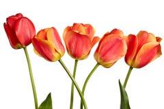 Isolated tulips Royalty Free Stock Photos