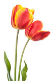 Isolated tulips Royalty Free Stock Images