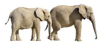 Isolated two African elephants Royalty Free Stock Images