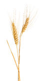 Isolated two ears of gold wheat with awns Royalty Free Stock Images