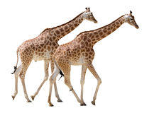 Isolated two giraffes walking Royalty Free Stock Photo