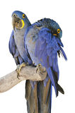 Isolated two Hyacinth macaws Royalty Free Stock Photos