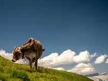 Isolated typical cow picture on a sunny summer day at a swiss farm mountain. Sorenberg stock photo