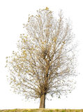 Isolated ugly curve tree without leaves. Isolated on white ugly curve autumn Linden tree without leaves Stock Images