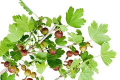 Isolated unripe gooseberry Royalty Free Stock Photo