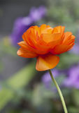 Isolated upright Single Stemmed Orange Poppy with a bokeh background. A vibrant single poppy with a natural bokeh / blurred garden background Stock Images