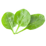 Isolated valerian leaves on white. Valerian leaves on white background as package design element. Healthy eating. Food photography royalty free stock photo