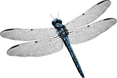 Isolated Vector Dragonfly. Digital Dragonfly illustration created in Adobe Illustrator with blue gradient fill body and head Royalty Free Stock Images
