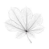Isolated vector monochrome chestnut leaf Stock Photos