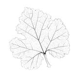 Isolated vector monochrome currant leaf. Royalty Free Stock Photo
