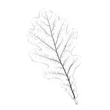 Isolated vector monochrome oak leaf Royalty Free Stock Photo