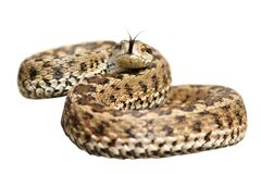 Isolated venomous snake ready to attack Royalty Free Stock Photo