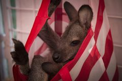 Isolated View of Baby Wallaby Cuddled Up in Red and White Striped Bag/Satchel Hanging on Wire Fencing, Petting Zoo stock images