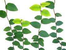 Isolated Vine Leaves Royalty Free Stock Photo