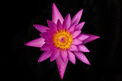 Isolated Violet lotus. A violet lotus with yellow pollen in dark background Royalty Free Stock Photo