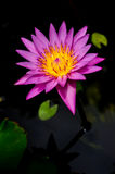 Isolated Violet lotus Stock Photography