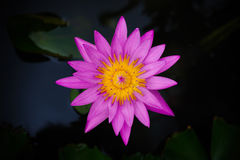 Isolated Violet lotus. A violet lotus with yellow pollen in dark background Royalty Free Stock Photography
