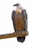 Isolated vulture on branch. From the front Stock Photography