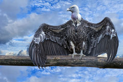 Isolated vulture, buzzard looking at you Royalty Free Stock Image