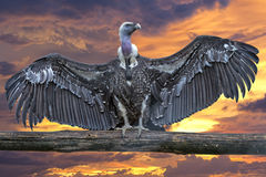 Isolated vulture, buzzard looking at you Stock Images