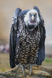 Isolated vulture, buzzard looking at you Royalty Free Stock Images