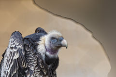 Isolated vulture, buzzard looking at you Royalty Free Stock Photos