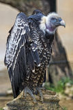 Isolated vulture, buzzard looking at you Stock Photos