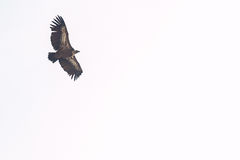 Isolated vulture flying Stock Photos