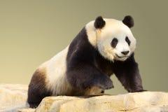 Isolated Walking Giant Panda Stock Image