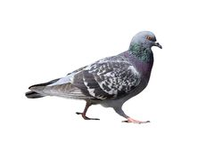 Isolated walking pigeon Stock Photos