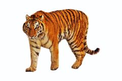 Isolated walking tiger royalty free stock images