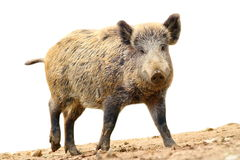 Isolated walking wild boar Royalty Free Stock Photos