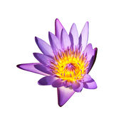 Isolated water lily. Purple and yellow isolated bloom of water lily Royalty Free Stock Images