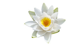 Isolated water lily flower. One Isolated flower of water lily on white background Stock Image