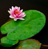 Isolated water lily and leaf Stock Photos