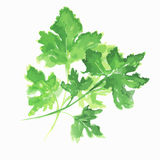 Isolated watercolor parsley. Stock Images