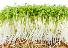 Isolated Watercress Sprouts Royalty Free Stock Photo