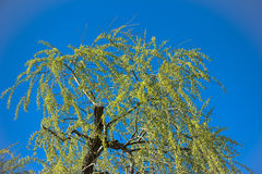 Isolated weeping willow. On a blue background Royalty Free Stock Photography